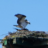 Ospreys_finallty_ospreys_016
