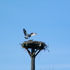 Ospreys_finallty_ospreys_020
