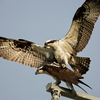 Mar1614_ospreys_zz6a0305web