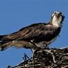 Osprey_on_nest