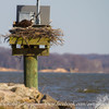Osprey_nests-5928