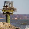 Osprey_nests-5928