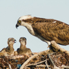 Osprey_babies-1
