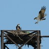 Osprey_honey_bee_landstown_126
