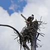 Cemetary_osprey_nest_fp_3-14-12-33_(98)_c