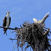 Osprey_ft_pickens_3-14-12-33_(76)