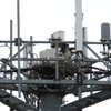 Osprey_springhill_cell_tower_024