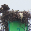 Img_3163_osprey_nest_on_marker_3