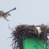 Img_3142_osprey_nest_on_marker_3
