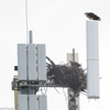 Img_3138_osprey_nest_on_cell_tower