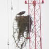 Img_3131_osprey_nest_on_cell_tower