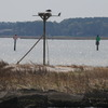 Osprey_flsp_other_2012_033