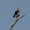 Hk___osprey_05202014_109