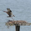 Osprey_little_neck_2014_011