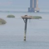 Osprey_little_neck_2014_033
