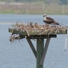 Osprey_little_neck_2014_022