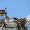 Img_3261_osprey_nest__5063