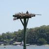 Osprey_little_neck_2014_019