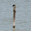 Osprey_little_neck_2014_023