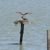 Osprey_little_neck_2014_029