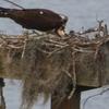 Ospreybaby2