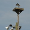 Osprey_flsp_other_2012_042