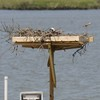 Osprey_little_neck_2014_050