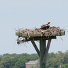 Osprey_little_neck_2014_048