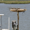 Osprey_little_neck_2014_049