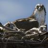 Ospreybabies