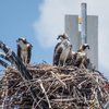 Img_3710_osprey_nest_5007_on_gandy