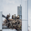 Img_3704_osprey_nest_5007_on_gandy