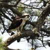 Osprey_little_neck_2014_012