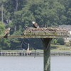 Osprey_little_neck_2014_010