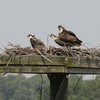 Osprey_little_neck_2014_037