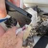 Osprey_banding_lynnhaven_06182014_131