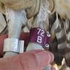 Osprey_banding_lynnhaven_06182014_208