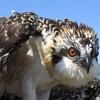 Osprey_banding_lynnhaven_06182014_214