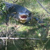 2020_alligator_in_sea_pines_forest_reserve