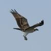 Osprey_lynnhaven_2014_149