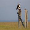 Osprey_by_bw