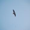 Bird_in_flight