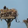 Brpt-osprey-chick_dscn7204
