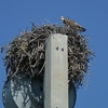 Sugarloaf_key_cell_tower_nest