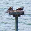 Osprey-nest_3529