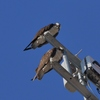 Ospreys_2015