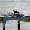 Pier-nest_3646