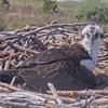 Screenshot_2020-04-15_osprey_webcam_cape_henlopen_state_park__lewes__delaware(4)