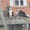 Ospreys_march28_2015