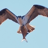Osprey_w_fish